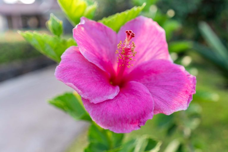 Photo of a Pink Hibiscus Flower