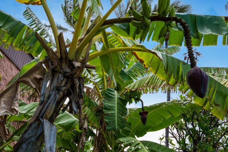 Photo of a banana tree